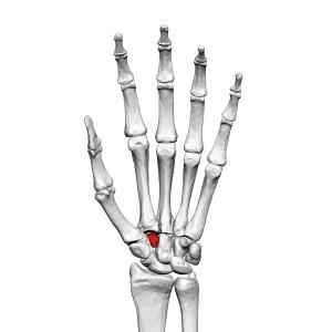 Trapezoid_bone_(left_hand)_01_palmar_view