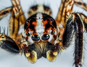 jumping-spider-300444_640