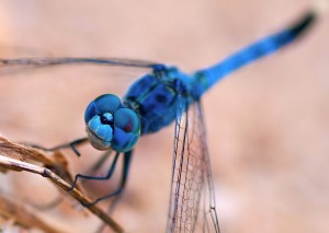 dragonfly-1364579_1280